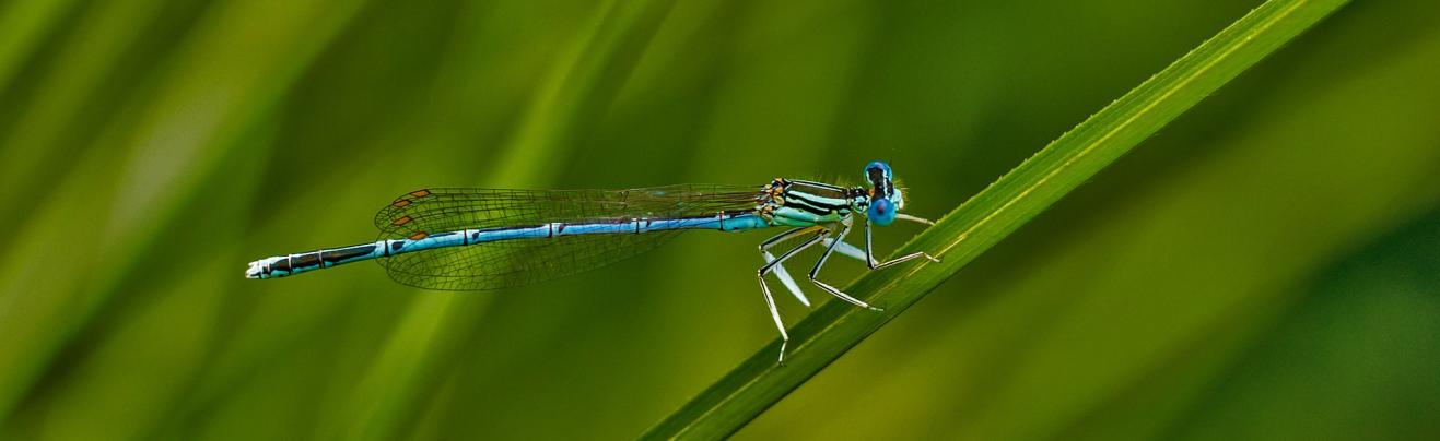 Libelle sitzt auf einem Grashalm