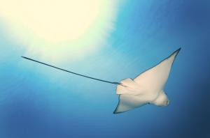 Rochen im Meer